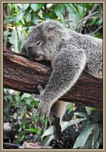 Koala-on-limb