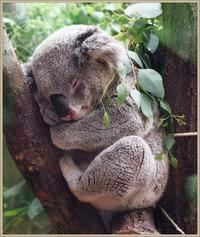 Koala snuggling