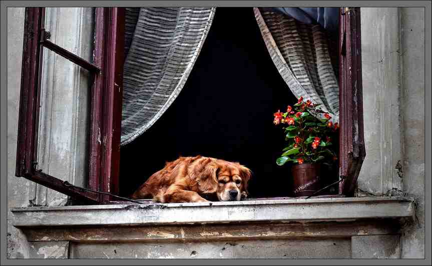 Window and old dog