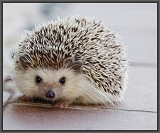 Baby-hedgehog-first-steps